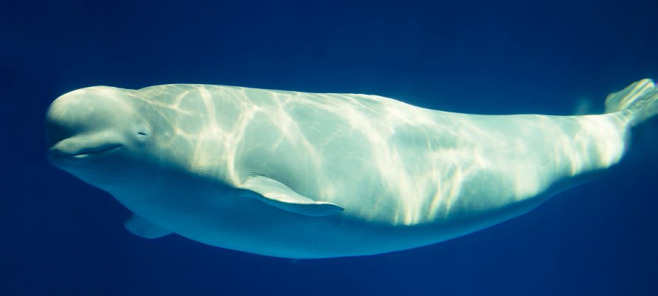 A system to save Beluga whales,
